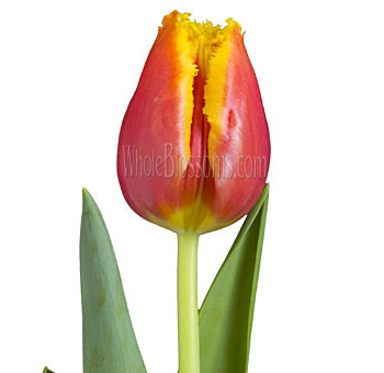 Fringed Tulips Bicolor Red Yellow