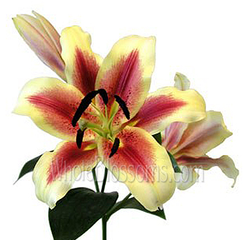 Oriental Lily Bicolor Red with Yellow Flowers