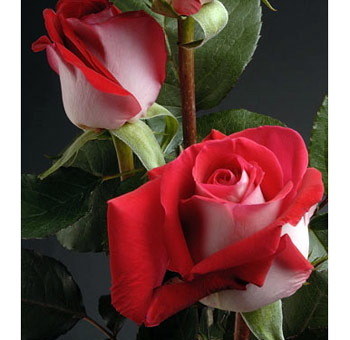 Latin Lady Bicolor Red Wholesale Roses