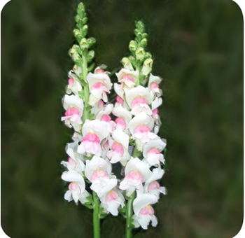 Snapdragon Flower
