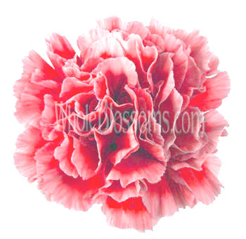 Bi-Color White Red Carnation Flower Fancy Cheerio