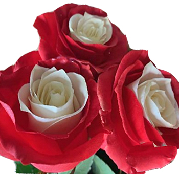 Bicolor White and Red Rose
