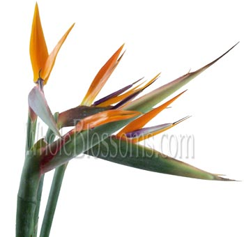 Bird of Paradise Tropical Flower