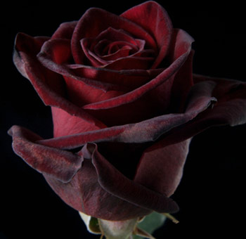 buy black baccara red rose for wedding at wholesale price. Black Bedroom Furniture Sets. Home Design Ideas