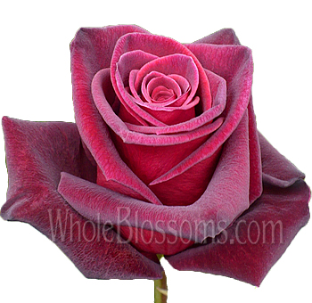 Black Baccara Red Rose