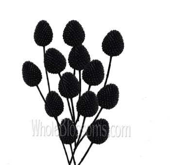 Craspedia Tinted Black Flowers