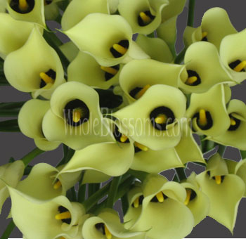 Black Eye Light Yellow Calla Lily Flowers