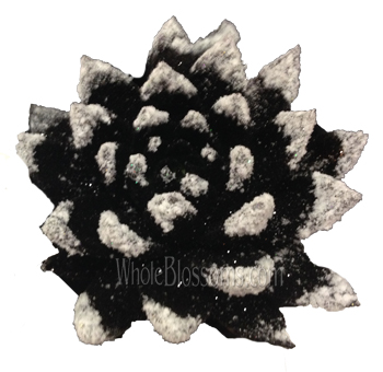 Black Glitter with Snow Succulent Flower