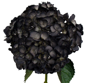 Black Hydrangea Airbrushed Flower