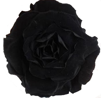 Black Rose Preserved Biological