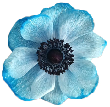 Blue Anemone Purple Flower Imported