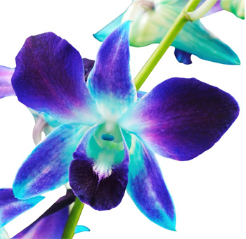 Blue Dendrobium Orchid Dyed