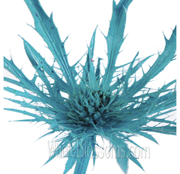 Thistle Eryngium Tinted Medium Blue Flower