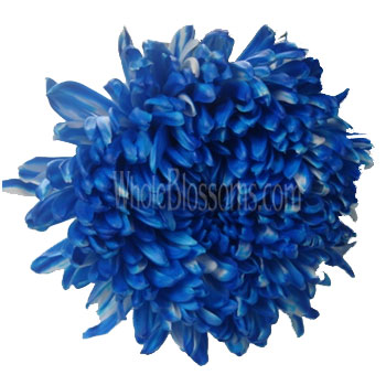 Jumbo Football Mum Tinted Blue Flower