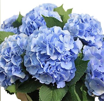 Blue Hydrangea Dutch Flower