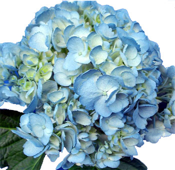 blue hydrangea tinted flower special events