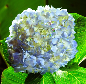 blue-hydrangea-super-select-flower
