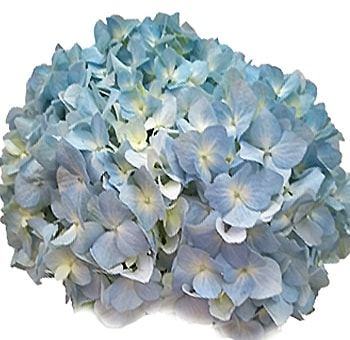 Super Select Blue Hydrangea Flowers