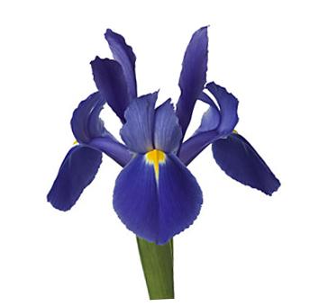 Order Fresh Cut Blue Iris Flower At Wholesale
