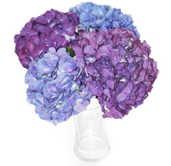 blue purple tinted hydrangea bouquets whole blossoms