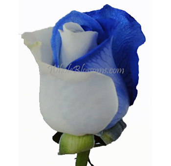 Striped Blue Rose