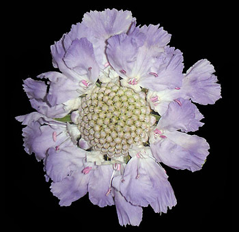 Blue Scabiosa Flower