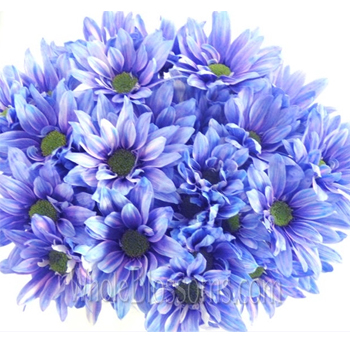 Daisy Pom Tinted Blue Flowers