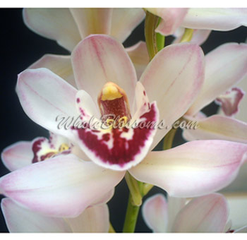Mini Cymbidium Orchid Blush