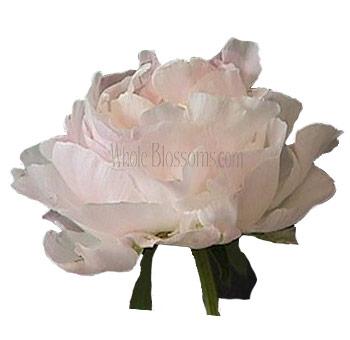 Peony Blush Flowers