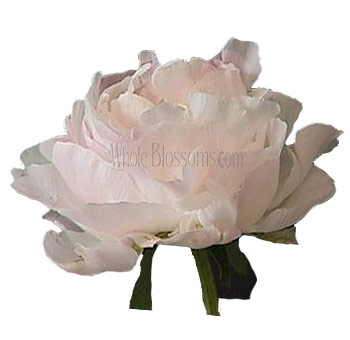 Peony Blush Flowers for Wedding