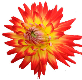 Bicolor Red Yellow Dahlias Flowers Bon Bini