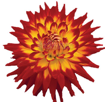 bon-bini-red-yellow-dahlia