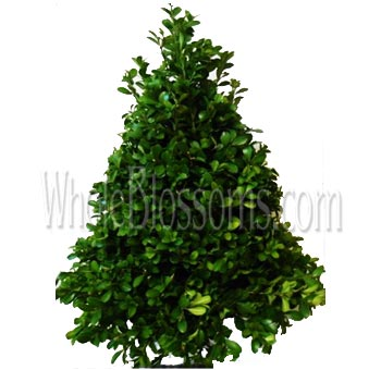 Boxwood Christmas Trees