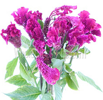 Brain Celosia Magenta Purple Flower