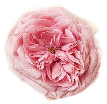 Ordinaire Whole Blossoms