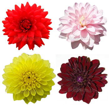 Assorted Dahlias