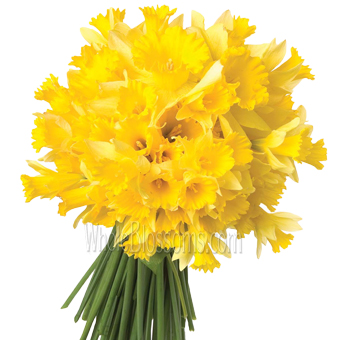 Wholesale Daffodils