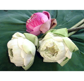 Lotus Flowers Assorted