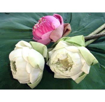 Buy fresh cut bulk lotus flowers at wholesale pricing buy lotus lotus flowers assorted mightylinksfo Gallery