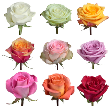 Wholesale Roses By Variety