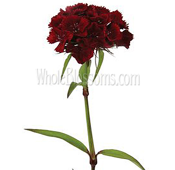 Dianthus Burgundy Flower