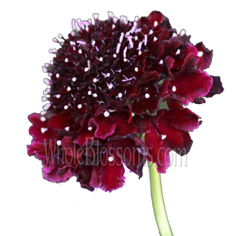 Burgundy Scabiosa Flower