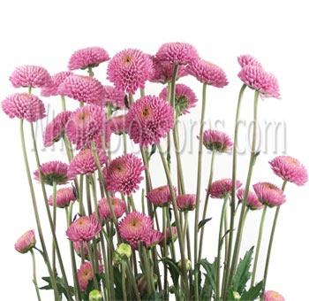 Pink Purple Novelty Chrysanthemums