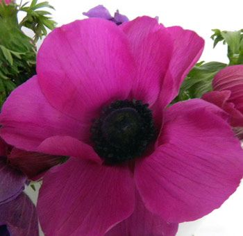 buy-hot-pink-anemone