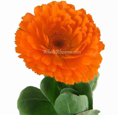 Wholesale Calendula