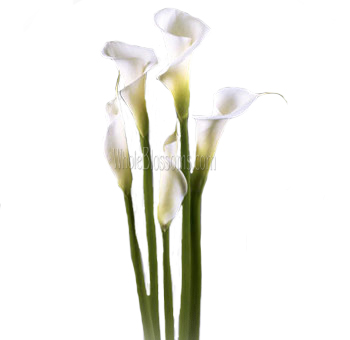 Buy white calla lilies white calla lilies mightylinksfo