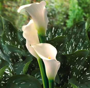 Calla Lily Flower Cream