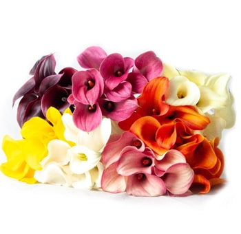 Mini Calla Lily Long Choose Your Colors 100 Stems