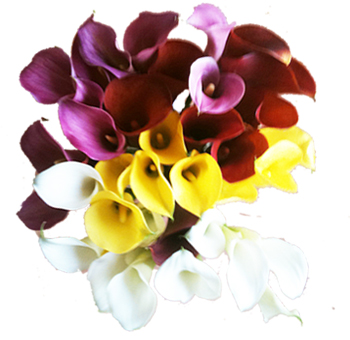 Wholesale Calla Lily