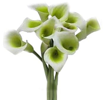 Green White Calla Lily Bicolor
